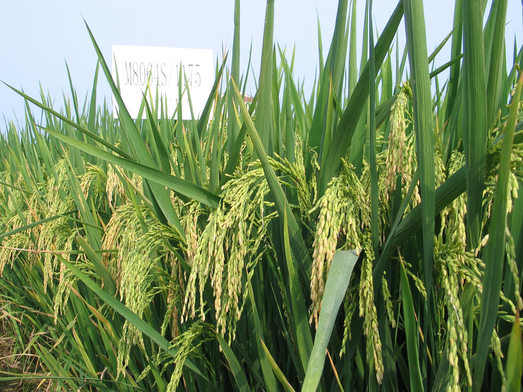 SunStar: Recovering rice production using hybrid rice seeds pushed