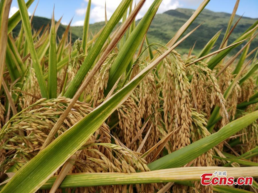 ECNS.cn: Rice variety developed by China's 'father of hybrid rice' sets record in Hainan