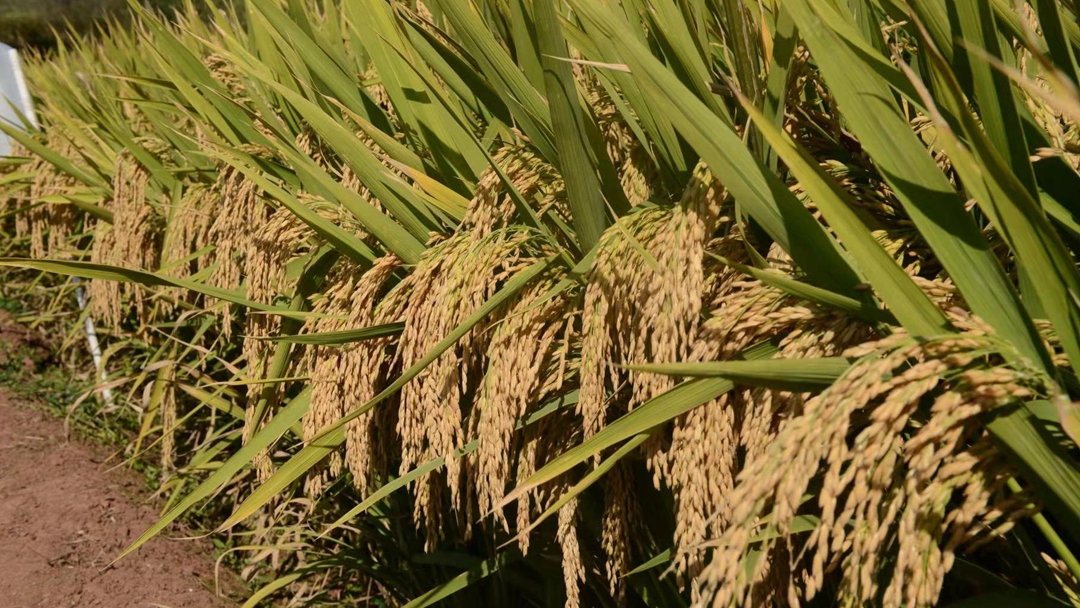 China's third-generation hybrid rice achieves record-breaking yields