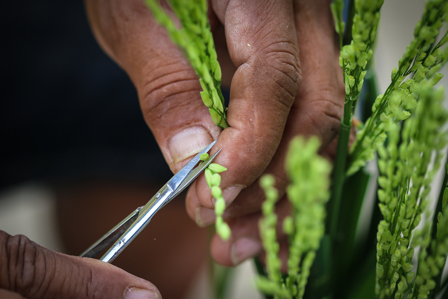 Hybrid rice review: Updating notions about hybrid rice