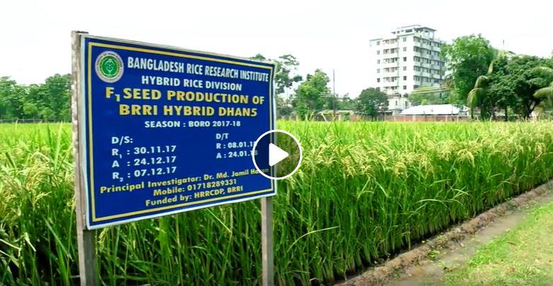 A documentary on hybrid rice of BRRI